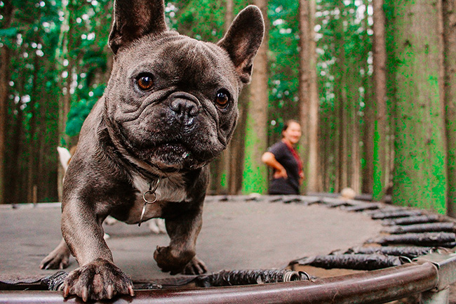 french bulldog on trampoline