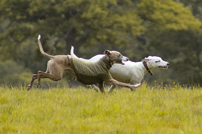 dogs running on a meadow