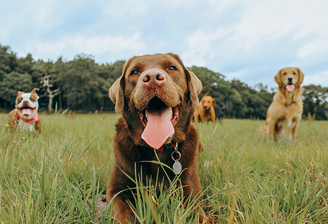 dogs on meadow