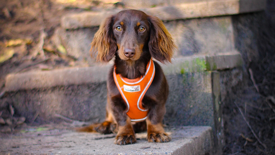 brown dog in harness